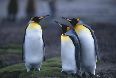 Two King Penguins Looking at Third Penguin