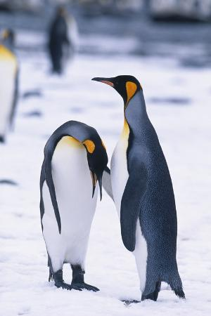 King Penguin Bowing to Another Penguin