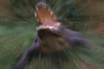 American Alligator Attacking