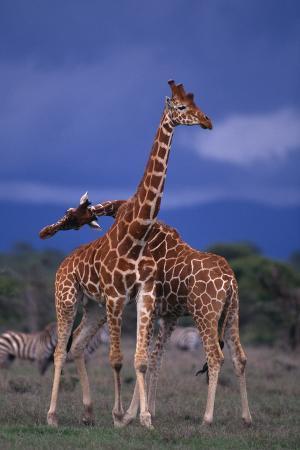 Masai Giraffe Calves Necking