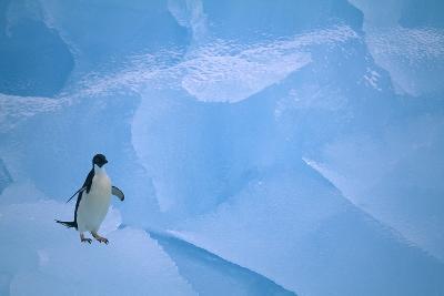 Adelie Penguin Walking on Ice Floe