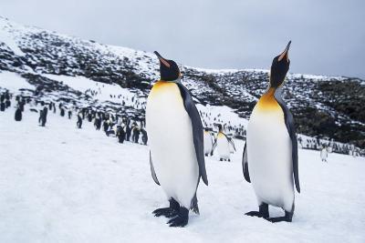 King Penguins Walking Separately from Flock