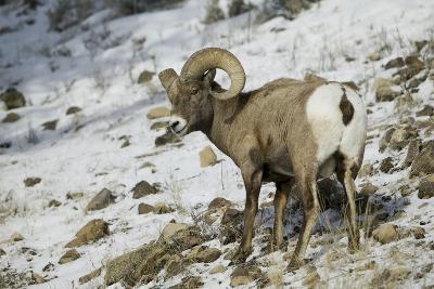 American Bighorn Sheep on Ridge