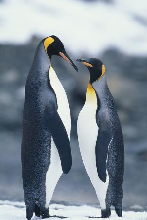 King Penguins Standing Belly to Belly