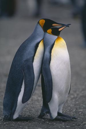 King Penguins Leaning on Each Other