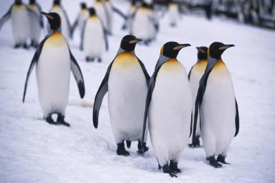 King Penguins Walking in Snow