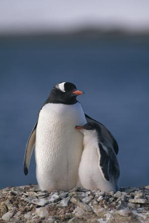 Gentoo Penguin with Chick