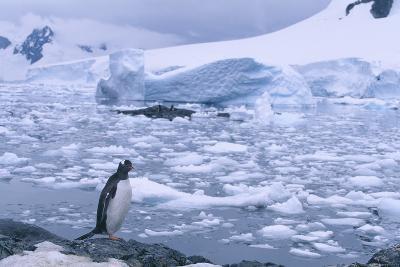 Gentoo Penguin Standing on Rock next to Ice Floe
