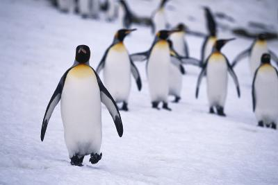 One King Penguin Walking Separately from the Others