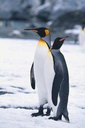 King Penguins Looking in Different Directions
