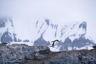 One Gentoo Penguin Jumping off a Rock as Others Watch