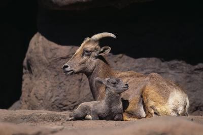 Bighorn Sheep with Offspring