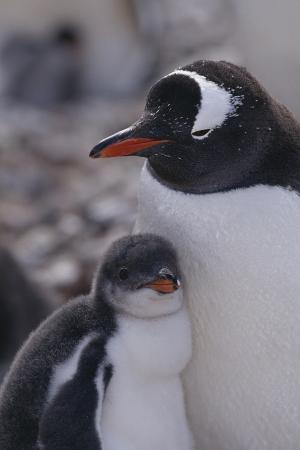 Gentoo Penguin and Chick Standing Together