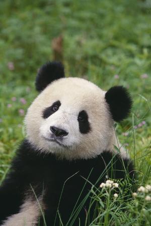 Panda in Grass