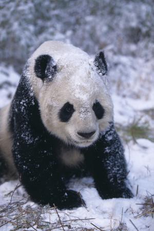 Giant Panda in Snow