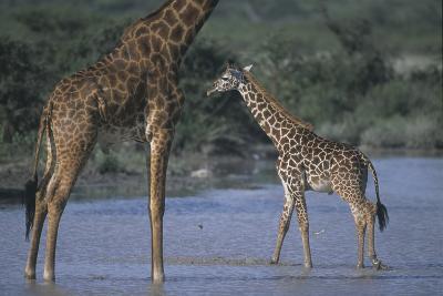 Masai Giraffe and Calf in River