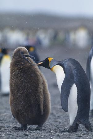 Adult and Juvenile King Penguins