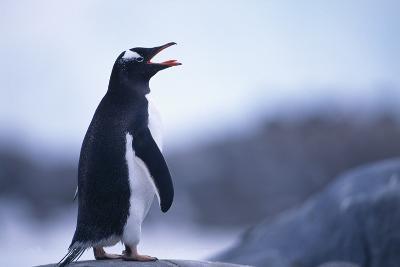 Gentoo Penguin Screeching