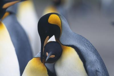 King Penguins Nuzzling One Another