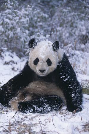 Giant Panda Sitting in Snow