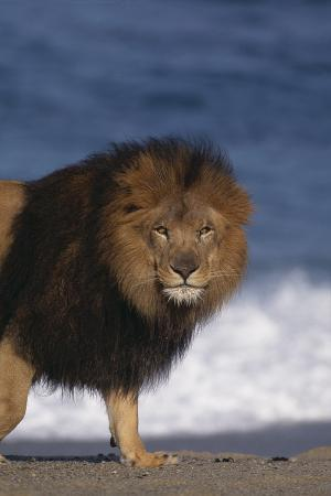 African Lion Standing on Beach