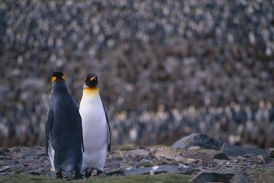 King Penguins Facing Forward and Backward