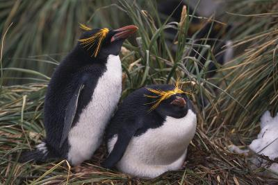 Macaroni Penguins Nesting in Grass