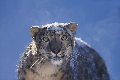 Snow Leopard Covered in Snow
