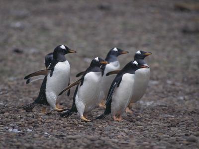 Gentoo Penguins Walking on Rocks