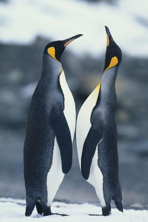 King Penguins Standing Face to Face