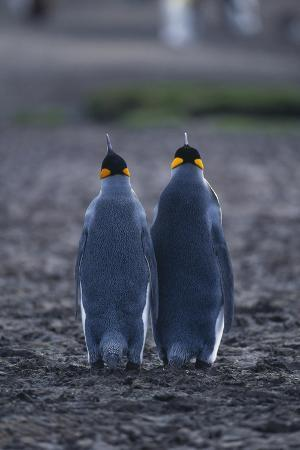 King Penguins Walking Together