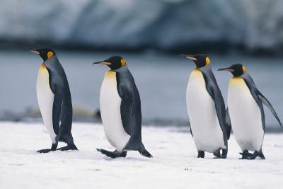 King Penguins Taking a Walk