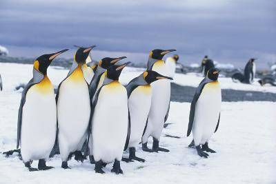 King Penguins Standing in Snow