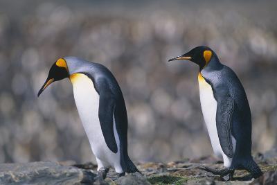 King Penguins Walking on Rocks