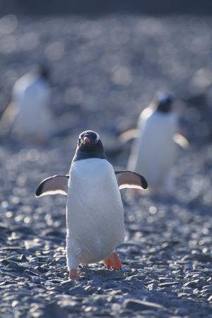 Gentoo Penguins Running on Rocks