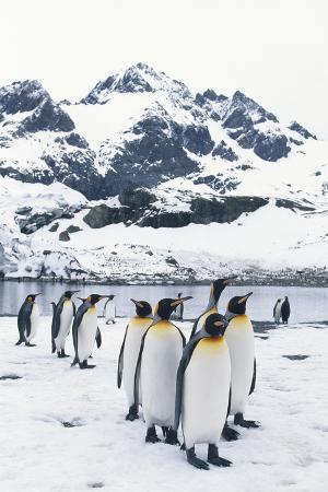 King Penguins Forming a Line