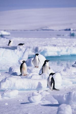 Adelie Penguins Sitting on Ice Floe