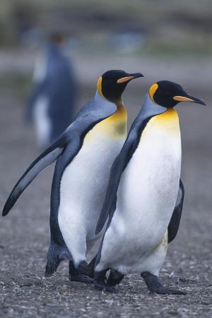 King Penguins Walking Closely Together