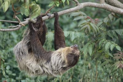 Two-Toed Tree Sloth Hanging from Tree