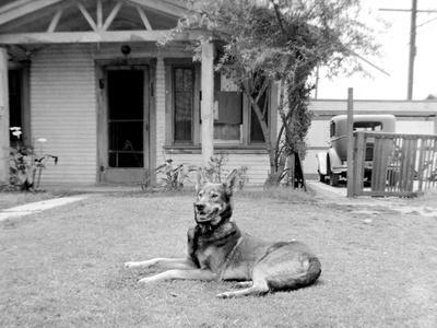 German Sheppard Mix Dog in the Front Yard, Ca. 1930.