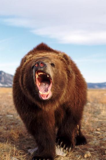 Angry Grizzly Bear Photographic Print by DLILLC at ...