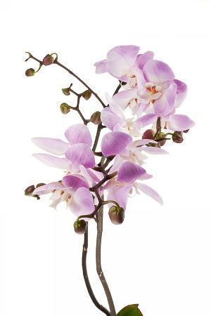 Phalaenopsis Hilo Pink2