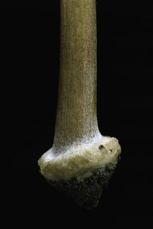 Inocybe Asterospora (Star Fibrecap) - Stipe Detail