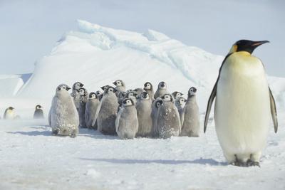 Group of Emperor Penguin Chicks