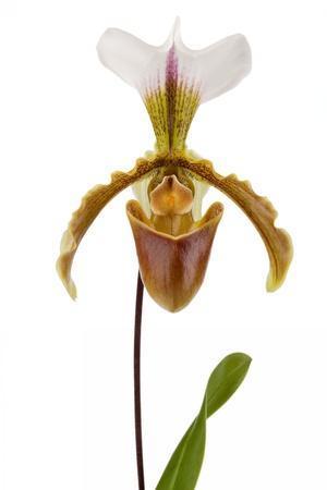 Paphiopedilum Leeanum 2