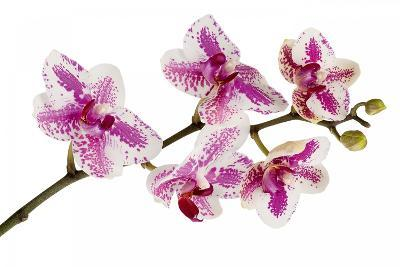 Phalaenopsis Ibrid5