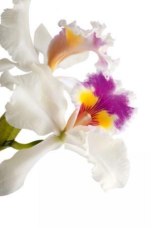 Cattleya Ibrid 3