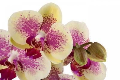 Phalaenopsis Ibrid3