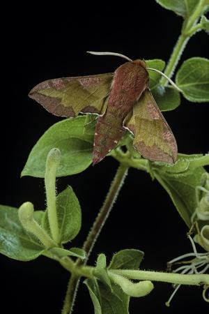 Deilephila Porcellus (Small Elephant Hawk Moth)