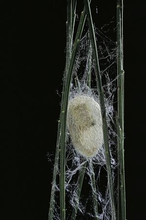 Bombyx Mori (Common Silkmoth) - Larva or Silkworm Spinning Cocoon